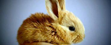 razas de conejitos más pequeños